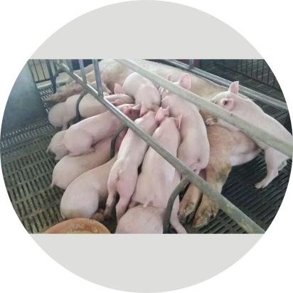 母安宝、哺多宝【母猪预混料、浓缩料】
